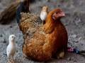 """مصر اليوم - """"لمبورغيني"""" أغلى دجاجة في مصر سعرها 3 آلاف جنيه ولونها أسود"""