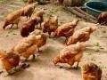 مصر اليوم - «وزارة الزراعة المصرية» تكشف عن أسباب زيادة أمراض الدواجن وعدم فاعلية الأدوية