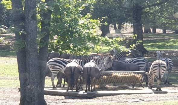 مصر اليوم - نفوق توبي أكبر وحيد قرن أبيض في العالم